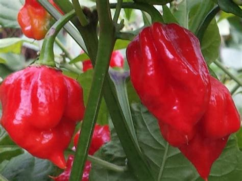 Ultimate Trinidad Scorpion Chilli Collection – For Serious